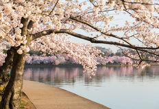 Detail of japanese cherry blossom flowers. Detailed photo of a bunch of bright japanese cherry blossom flowers by path around tidal basin in Washington DC Royalty Free Stock Photos