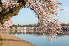 Detail of japanese cherry blossom flowers. Detailed photo of a bunch of bright japanese cherry blossom flowers by path around tidal basin in Washington DC Stock Photo