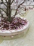 detail of japanese magnolia in piazza vcerdi Stock Photos