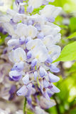 Detail of Japanese Wisteria (Wisteria floribunda) Royalty Free Stock Photo