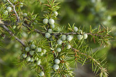 Detail of juniper branch Stock Photos