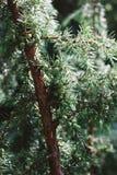 Detail of juniper branch full of berries royalty free stock images
