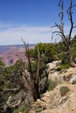 Detail, Juniper snag, on the South Rim Royalty Free Stock Image