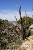 Detail, Juniper snag, on the South Rim Royalty Free Stock Images