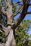 Detail, Juniper snag, on the South Rim Stock Photo