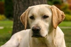 Detail of Labrador dog in the spring garden. Detail of yellow Labrador dog in the spring garden royalty free stock photography