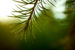 Detail of larch branch. Royalty Free Stock Photography