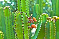 Detail of large cactus Royalty Free Stock Images