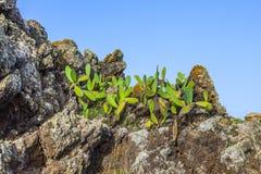 Detail of large cactus Royalty Free Stock Image