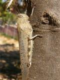 Detail of large grasshopper royalty free stock image