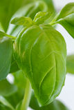 Detail of a large  leaf on a basil plant. Stock Images