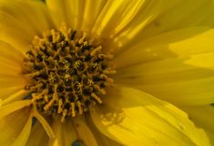Detail of a large yellow flower with pistils. Detail of large wild yellow flower with autumn pistils in the Tuscan countryside, Italy stock image