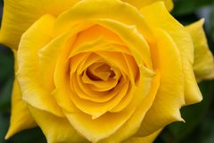 Detail of large yellow rose in full bloom stock photo