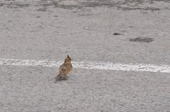 Crested Lark. Detail of lark in a parking space Stock Photos