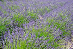Detail of lavender field. In the summer time stock photography