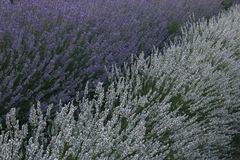 Detail of lavender field in Provence, France Royalty Free Stock Photos