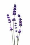 Detail of lavender flower Stock Images
