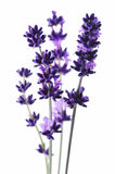 Detail of lavender flower Royalty Free Stock Photography
