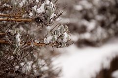 Lavender in Winter covered with snow stock image