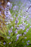 Detail of lavender Stock Photo