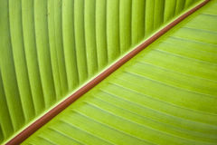 Detail of leaf of Banana tree Stock Photography