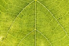 Detail of a leaf Royalty Free Stock Image