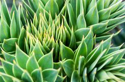 Closeup of prickly leaves at the tree top of araucaria araucana royalty free stock image