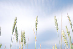 The detail of the leaves and branches of grains. And clouds Stock Images