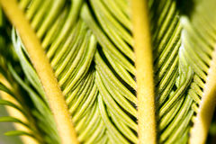 Detail of Leaves of Cycas Revoluta Stock Photo