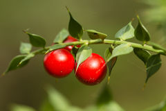 Detail of leaves and fruits of butcher`s broom Royalty Free Stock Image