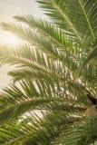 Big green palm tree with translucent sun royalty free stock photos