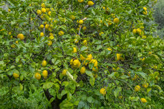 Detail of lemon in bloom with fresh yellow lemons and ready to p Royalty Free Stock Photography