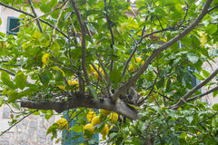 Detail of lemon in bloom with fresh yellow lemons and ready to p Stock Image