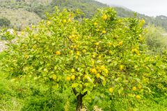 Detail of lemon in bloom with fresh yellow lemons and ready to p. Ick harvest Stock Photos