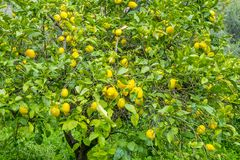 Detail of lemon in bloom with fresh yellow lemons and ready to p. Ick harvest Royalty Free Stock Images
