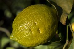 Detail of lemon on the tree stock photography