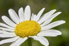 Leucanthemum vulgare flower close up Stock Image