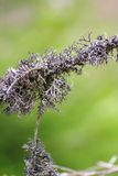 Detail of a lichen Royalty Free Stock Photo