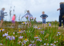 Detail of Lilac flowered version of the Hawksbury River Daisy with holidaymakers in background Royalty Free Stock Photos