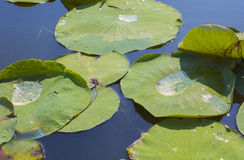 Detail of lillypads reflected on water Royalty Free Stock Image