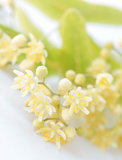 Detail of linden-tree flower Stock Image