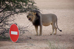 Detail of a lion in a Safari in Botswana Royalty Free Stock Photography