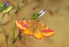 Little butterfly Lythria cruentaria Stock Image
