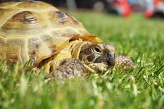 Detail of a little tortoise crawling in the grass Royalty Free Stock Image