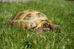 Detail of a little tortoise crawling in the grass Stock Photos