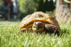 Detail of a little tortoise crawling in the grass Royalty Free Stock Photo