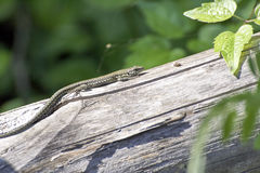 Detail of a lizard. Detail ofa lizard in a meadow stock images