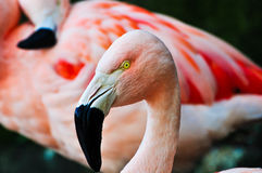 Detail look of a Flamingo Royalty Free Stock Photography