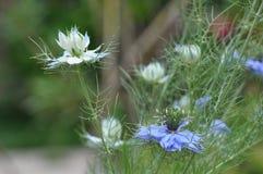 Love in a mist Nigella damascena blue flower. Detail of Love-in-a-mist Nigella damascena flower Stock Photos