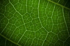 Macro green leaf. Detail of the macro green leaf Royalty Free Stock Image